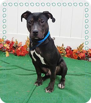 Pit Bull Terrier Mix Dog for adoption in Marietta, Georgia - CARSON