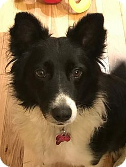 Border Collie Dog for adoption in Evansville, Indiana - Sissy