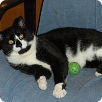 Domestic Shorthair Cat for adoption in Washington, Virginia - Tucker