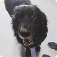 Newfoundland Mix Dog for adoption in Chicago, Illinois - Kleo