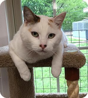 Turkish Van Cat for adoption in Joplin, Missouri - Tosha