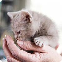 Domestic Mediumhair Kitten for adoption in Mobile, Alabama - Kyla