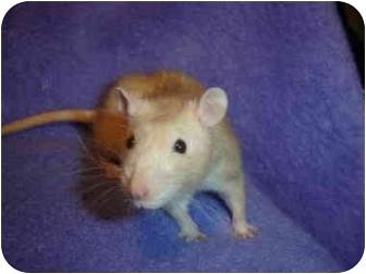 Rat for adoption in Winner, South Dakota - Butter