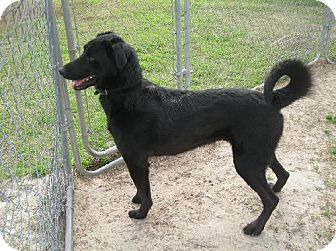 Labrador Retriever Mix Dog for adoption in Manning, South Carolina - Tuffy