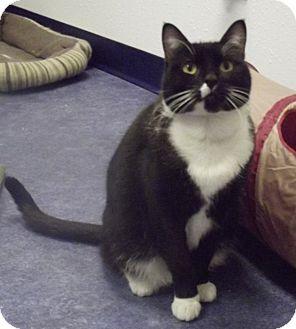 Domestic Shorthair Cat for adoption in Colorado Springs, Colorado - Moses