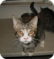 Domestic Shorthair Kitten for adoption in Shelton, Washington - Dakota