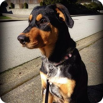 Rottweiler/Australian Shepherd Mix Puppy for adoption in Surrey, British Columbia - Shae