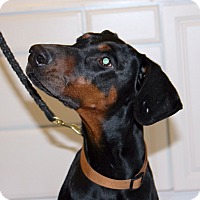 Adopt A Pet :: Sugar--adopted!! - New Richmond, OH