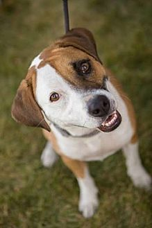 Blue Heeler/Beagle Mix Dog for adoption in Channahon, Illinois - Kaliegh