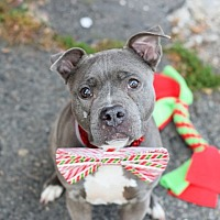 Adopt A Pet :: SHEBA - New York, NY