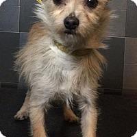 Adopt A Pet :: Christine McVie - McKinney, TX