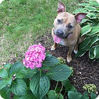 American Staffordshire Terrier Mix Dog for adoption in West Allis, Wisconsin - Lola