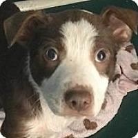 Adopt A Pet :: Suzie - Springdale, AR