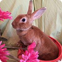 Adopt A Pet :: Velvet - Warwick, NY