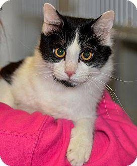 Domestic Mediumhair Cat for adoption in Ottumwa, Iowa - Michelangelo