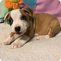 Adopt A Pet :: Molson - Atlanta, GA