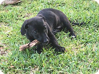 Basset Hound Mix Puppy for adoption in Portland, Oregon - Dusty