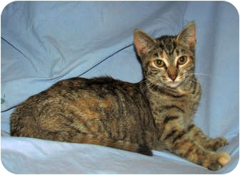 Domestic Shorthair Kitten for adoption in Norwich, New York - Pebbles