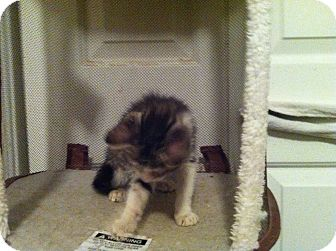 Domestic Shorthair Kitten for adoption in Pittstown, New Jersey - Callium
