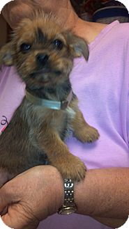 Yorkie, Yorkshire Terrier/Brussels Griffon Mix Puppy for adoption in Hazard, Kentucky - Punkin