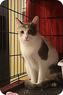 Calico Cat for adoption in Chino, California - Morning Star