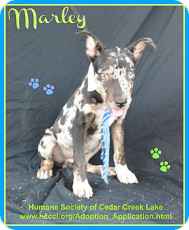 Catahoula Leopard Dog Mix Puppy for adoption in Plano, Texas - Marley