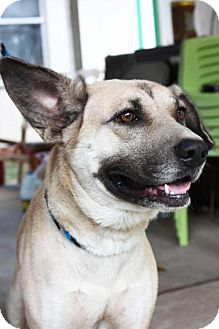 Shepherd (Unknown Type) Mix Dog for adoption in Cleveland, Texas - Sparticus