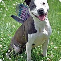 Adopt A Pet :: Oreo - St. Louis, MO