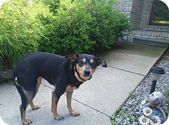 Miniature Pinscher Mix Dog for adoption in China, Michigan - Journey