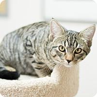 Adopt A Pet :: Pono - Fountain Hills, AZ