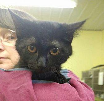 Domestic Shorthair Cat for adoption in Trenton, Missouri - Greta