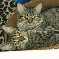 Adopt A Pet :: Tiger Kitty - Cypress, TX