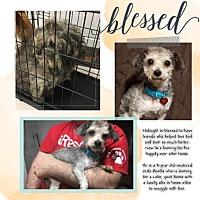 Adopt A Pet :: Midnight - Troy, MI