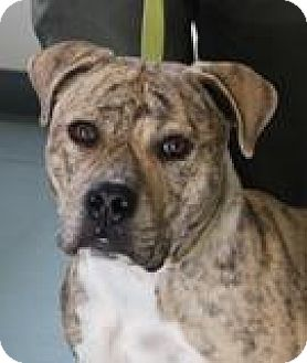 American Staffordshire Terrier Dog for adoption in Willingboro, New Jersey - Clyde