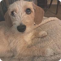 Adopt A Pet :: Sassafras - tucson, AZ