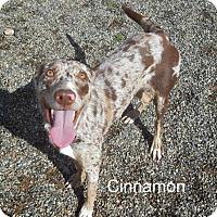 Adopt A Pet :: Cinnamon - Yreka, CA