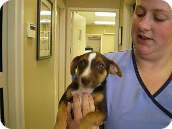 Miniature Pinscher/Jack Russell Terrier Mix Puppy for adoption in Apex, North Carolina - Finn
