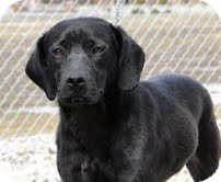 Labrador Retriever Mix Puppy for adoption in Lewisville, Indiana - Victoria
