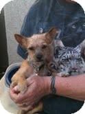 Cairn Terrier Puppy for adoption in Modesto, California - Einstein