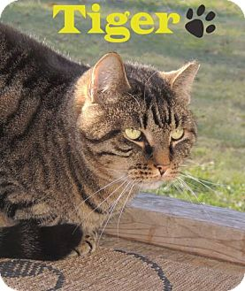 Domestic Shorthair Cat for adoption in River Edge, New Jersey - Tiger