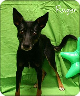 Australian Kelpie Mix Dog for adoption in Ogden, Utah - Rugar