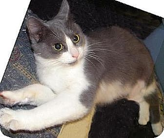 Domestic Shorthair Kitten for adoption in Miami, Florida - Ms. Silver