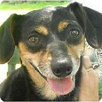 Adopt A Pet :: Dixie-chihuahua - Charleston, AR