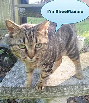 Domestic Shorthair Cat for adoption in Salisbury, North Carolina - Sheemaimee