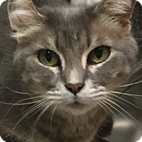 Domestic Shorthair Cat for adoption in Monroe, Georgia - Buttons