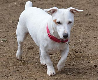 Jack Russell Terrier Dog for adoption in Blue Bell, Pennsylvania - Patches