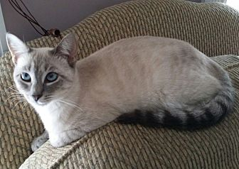 Siamese Kitten for adoption in Horsham, Pennsylvania - Aurora