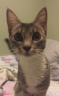 Domestic Shorthair Cat for adoption in Riverview, Florida - Lilo