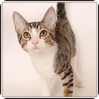 Domestic Shorthair Cat for adoption in Glendale, Arizona - Brexit