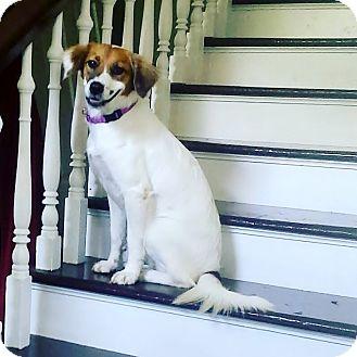 Brittany Dog for adoption in Nashville, Tennessee - BRITT